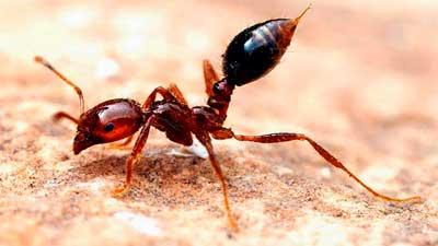 火蟻(ヒアリ)の生態