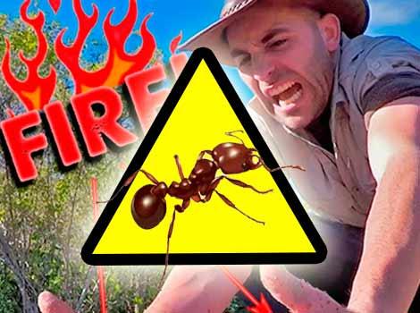 【閲覧注意】火アリに40秒間刺された人が痛々しい!簡単な見分け方や致死率、症状は?(ヒアリ・火蟻)