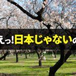日本の桜にソックリ!外国人が愛する海外の花木が美しい