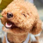 浅田真央の愛犬エアロは何歳?ソックリな子供ティアラと小町もかわいい!(トイプードル)
