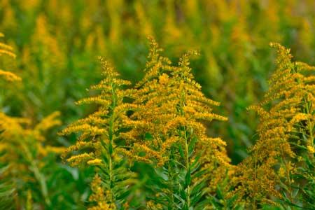 秋の花粉症に注意!9月・10月・11月のアレルゲンは?ブタクサ